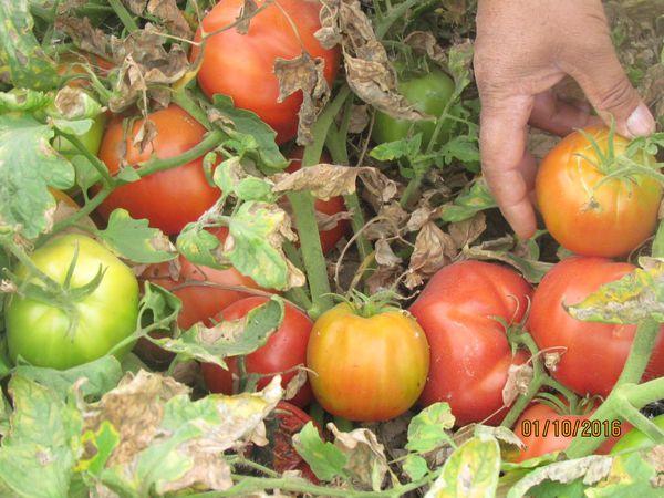 توصیه جهاد کشاورزی به پنبه کاران و گوجه کاران