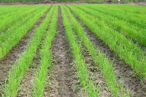 خودکفایی برنج در گرو توجه به خشکه کاری