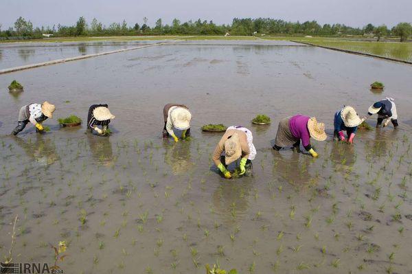 درخواست نمایندگان گلستان برای لغو ممنوعیت کشت برنج و چند خبر کوتاه