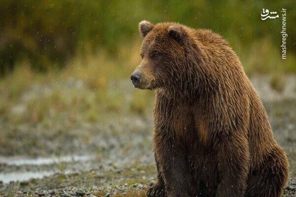 فیلم/ خرس قهوهای در جستجوی غذا