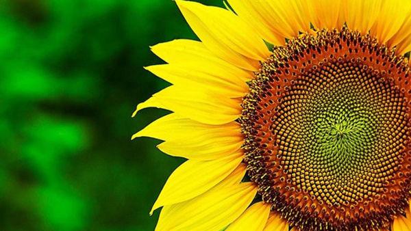 آغاز برداشت آفتابگردان آجیلی در گلستان