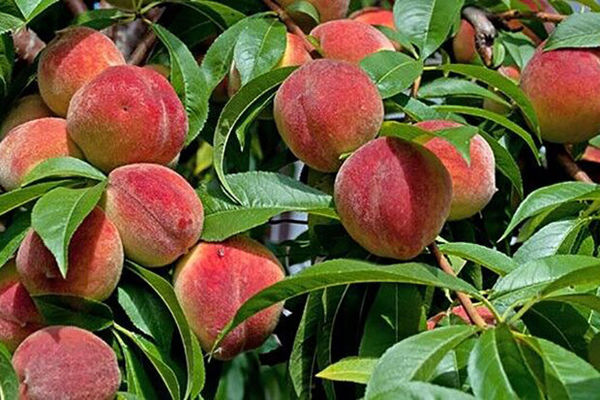 ۸۰ هزارتن هلو در باغات گلستان تولید می شود