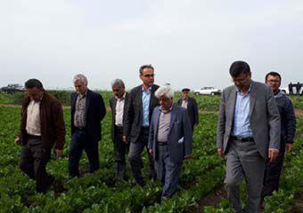 اختصاص حدود یک سوم کشت و تولید چغندرقند استان در رامیان