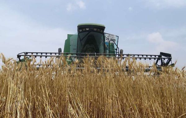 برداشت بیش از نیمی از گندم های گلستان