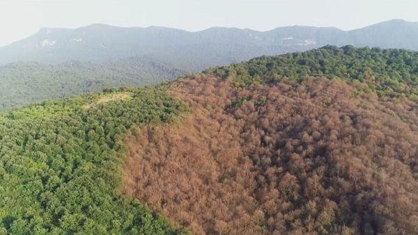 مبارزه با آفت مخرب جنگلهای شمال در گلستان
