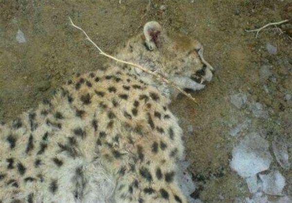 تأیید مرگ یوزپلنگ میامی