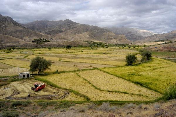 خسارت بارش دیرهنگام به مزارع کلزا و گندم کلاله