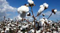 ضدعفونی بذر پنبه راهی برای جلوگیری از خسارت آفات