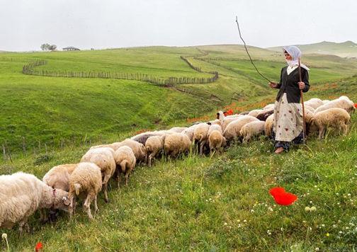 تولید بیش از ۲ هزار و ۶۰۰ تن گوشت قرمز