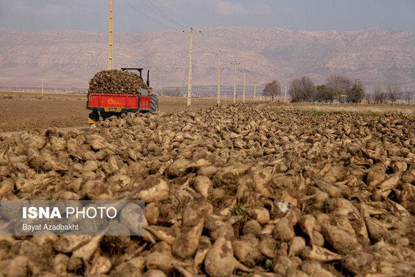 پیشبینی برداشت ۲۱۰ هزار تن چغندرقند در گلستان