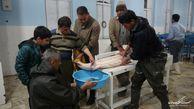 تکثیر فیل ماهی پرورشی برای اولین بار در استان