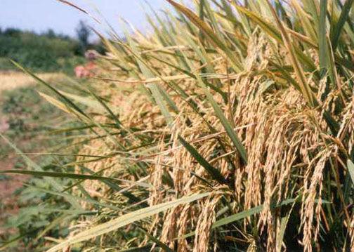 تولید بیش از ۲۰۴ هزار تن شالی از مزارع گلستان