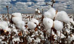 ۲۰ هزار هکتار از اراضی کشاورزی استان زیرکشت پنبه میرود
