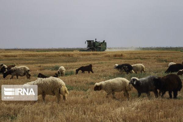 تامین کمباین، دغدغه کشاورزان بندرترکمن در فصل برداشت