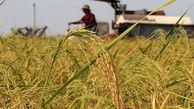 برداشت برنج در بندرگز