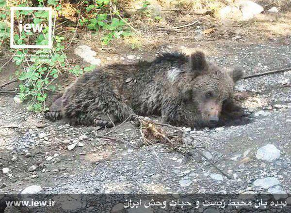مرگ دردناک توله خرس در استان گلستان + تصاویر