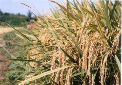 آغاز برداشت برنج در استان گلستان