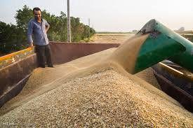 خریداری بیش از 26 هزار تن گندم در کردکوی