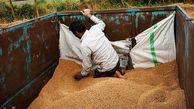 پیامد ورود اشتباه دولت در قیمتگذاری گندم/ کشاورزان گلستانی محصول خود را به دولت نفروختند