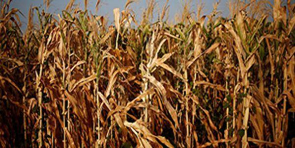 تأخیر در پرداخت قطره چکانی غرامت، کشاورزان گلستانی را از بیمه محصولات ناامید کرد