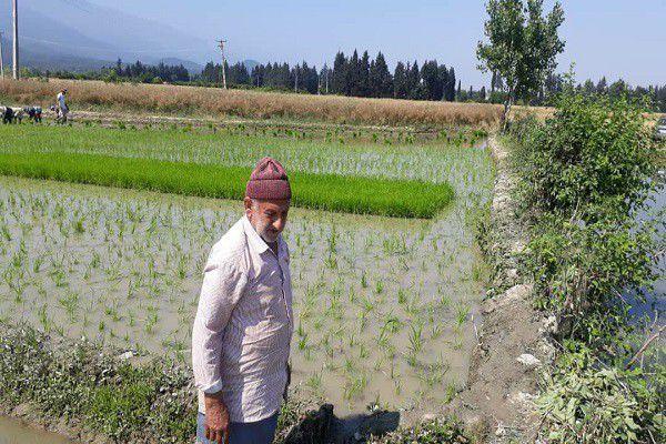 چالش های کشت برنج از زبان کشاورز گلستانی/توصیه کارشناسان به خشکه کاری برنج در استان