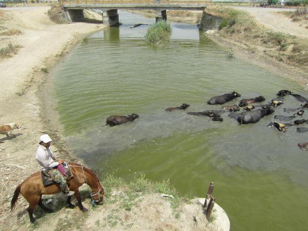 لحظه عبور گاومیش از رودخانه