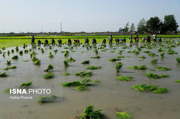 آب منطقهای گلستان: کشت غرقابی شالی فقط به اراضی نسق محدود شود