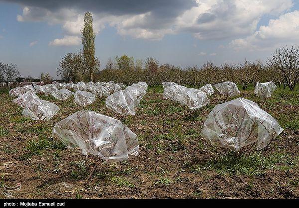 توصیه های هواشناسی برای مراقبت از محصولات کشاورزی در برابر سرما