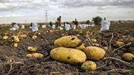 قیمت پایین خرید توافقی سیب زمینی و تجمع سیب زمینی کاران گرگانی