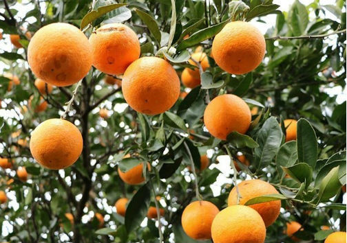 پرتقال دزدها در دام پلیس