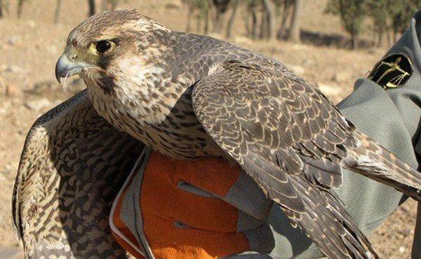 تخویل پرنده مصدوم به محیط زیست گلستان