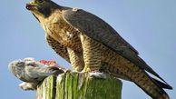 ۶ صیاد پرندگان شکاری در منطقه مرزی گنبدکاووس دستگیر شدند