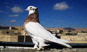 کبوتر، مرگ جوان کلاله ای را رقم زد.
