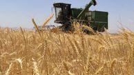 قیمت غیرعادلانه گندم| کشاورزانی که به دلار خرج میکنند و به ریال پول میگیرند