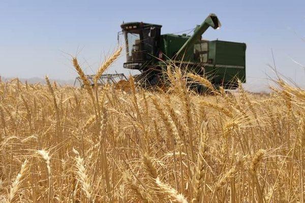قیمت غیرعادلانه گندم  کشاورزانی که به دلار خرج میکنند و به ریال پول میگیرند