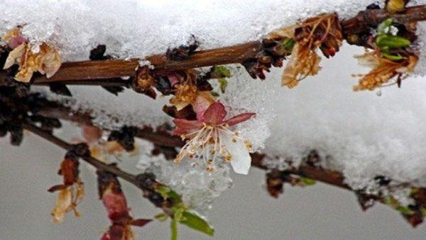 خسارت سرمازدگی به بیش از ۵۰ درصد از باغهای گلستان