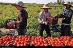 بوشهریها امروز گوجه را بار زدند