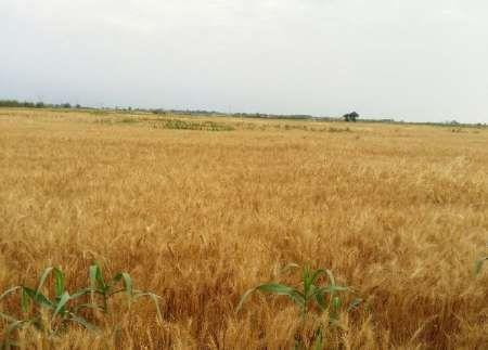 خسارت ١٠٠درصدی مزارع گندم ناشی از سیل