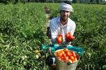 تصاویر/ برداشت گوجه فرنگی از مزارع کردکوی