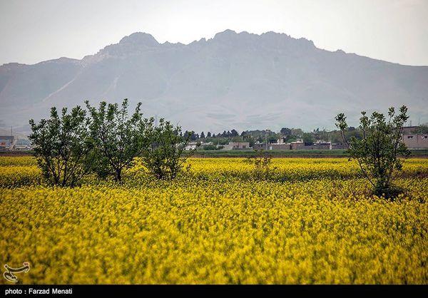۱۸۰ هزار تن کلزا در استان گلستان تولید میشود