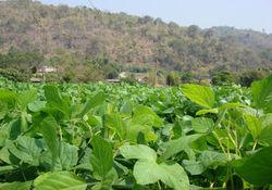 لزوم توجه به آبیاری مزارع سویا