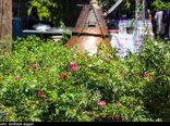 نخستین جشنواره گلمحمدی و گلابگیری در گرگان به روایت تصویر
