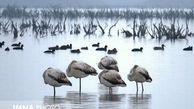 فاجعه مرگ پرندگان مهاجر در میانکاله تکرار نمیشود