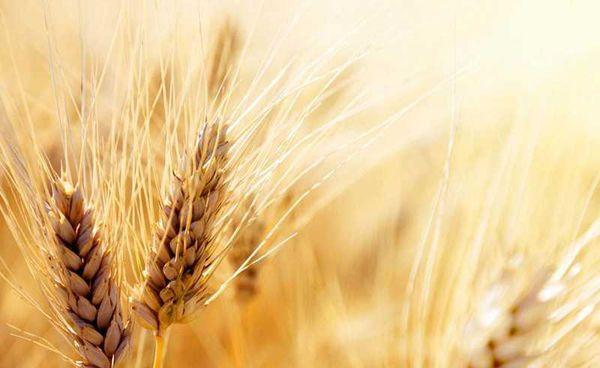 خرید نزدیک به ۵۰۰ هزار تن گندم از کشاورزان گلستانی