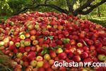 باغ سیب داربستی در  شهرستان مینودشت