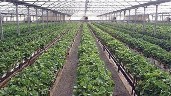افزایش ۲ برابری توسعه گلخانههای استان در سال ۹۸