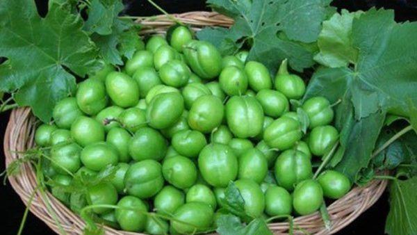برداشت ۸۰ درصدی گوجه سبز در گلستان