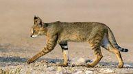 تحویل گربه وحشی مصدوم به محیط زیست بندرترکمن