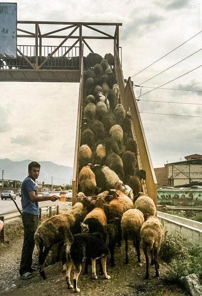عکس/ گوسفندان با فرهنگ !