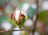 توزیع بذر پنبه از اواخر این هفته در گلستان
